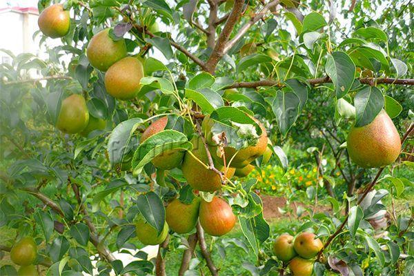 Урожайность систематическая – 50-60 кг/дерева