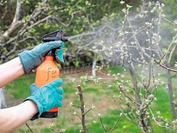 В холодную весну стоит проводить опрыскивания груши разными удобрениями