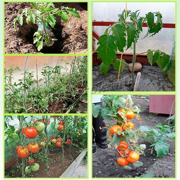 В открытый грунт или теплицу сажают рассаду возрастом 45-60 дней