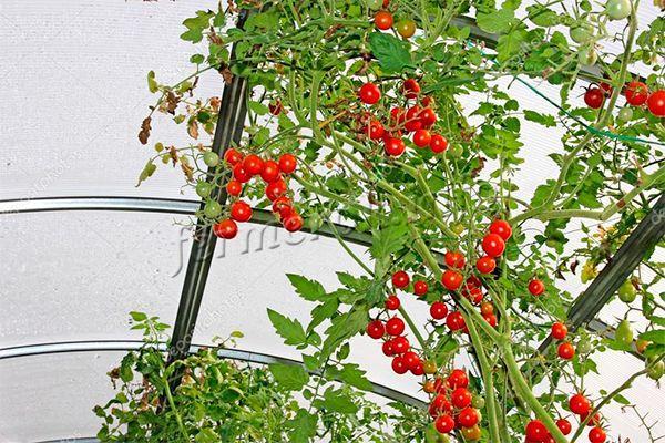 В теплице помидоры черри растут намного быстрее