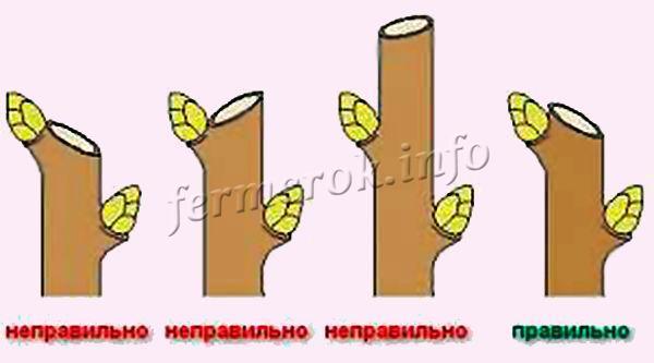 Все обрезы веточек проводятся над верхней здоровой почкой