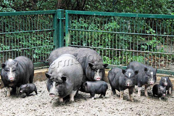 Выгул вьетнамской вислобрюхой свиньи