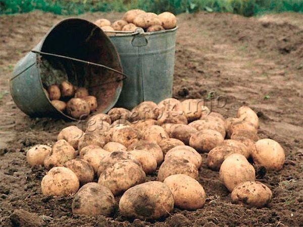 Выкопанный картофель сначала раскладывают по земле, чтобы просушить на солнце и перебрать