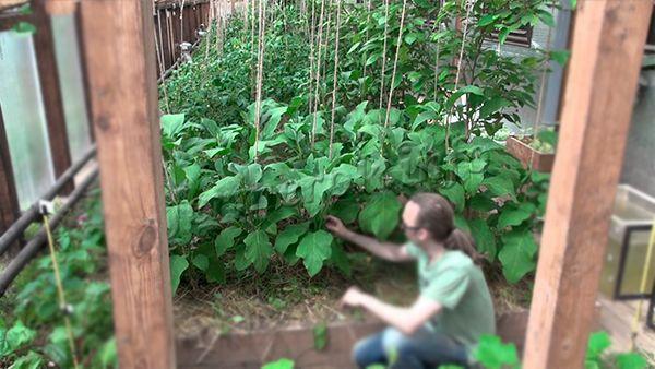 Выращивание баклажанов подразумевает постоянный уход за ними