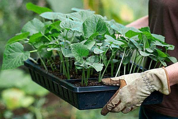 Выращивание баклажанов в открытом грунте начинается с заготовки рассады