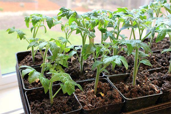 Выращивание черри в открытом грунте обычно проводится рассадным методом