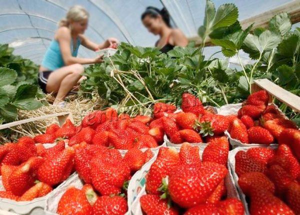 Выращивание клубники в теплице круглый год может принести большую выгоду
