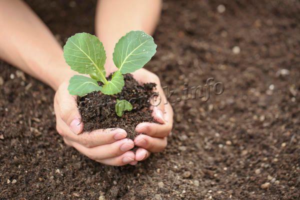 Выращивают капусту Ринда обычно рассадным методом