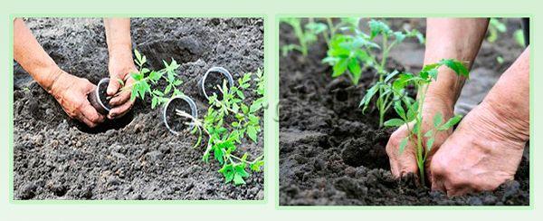 Высаживание рассады томатов в открытый грунт