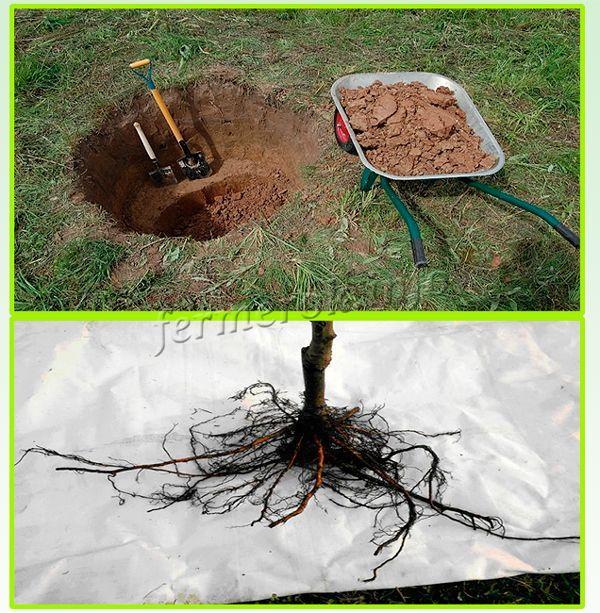 Высаживают в большую яму, глубиной в метр. Корни перед посадкой необходимо хорошо расправить
