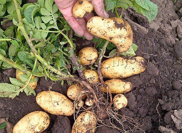 Высокая урожайность картофеля Гала