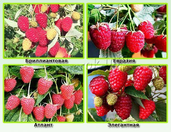 Высокоурожайные сорта малины для средней полосы России