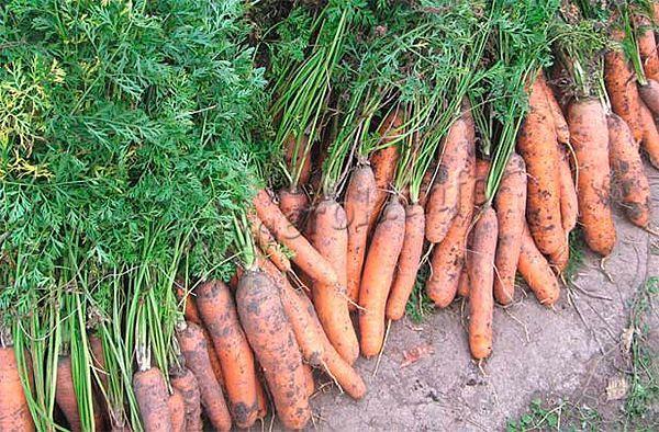 Вытягивать морковь из земли стоит очень аккуратно, чтобы не повредить корнеплоды