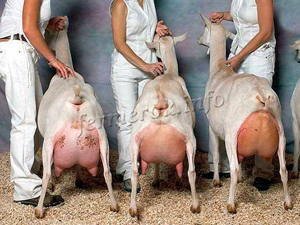 Зааненская коза дает от 700л до 2т-молока в год