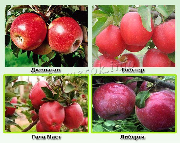 Зимние красные сорта яблок 1