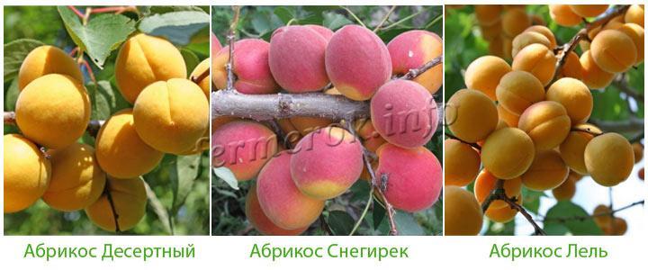 Фото сортов самоплодных абрикос