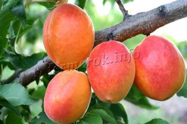 abrikos-avrora.jpg