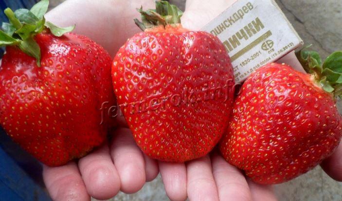 Фото ягод сорта клубники Азия