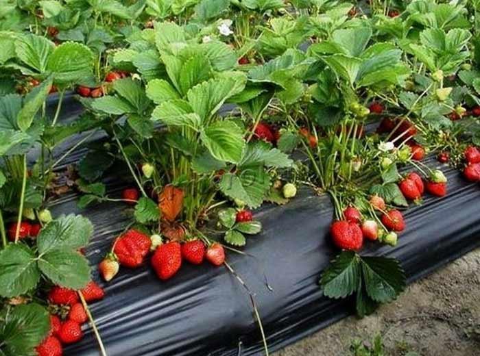 Фото выращивания сорта клубники Азия