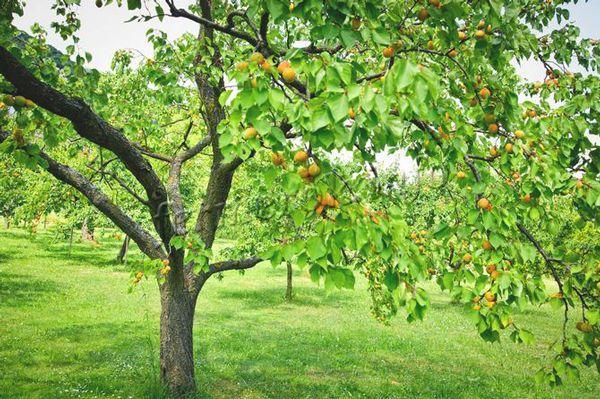 Из косточек вырастает сильное дерево