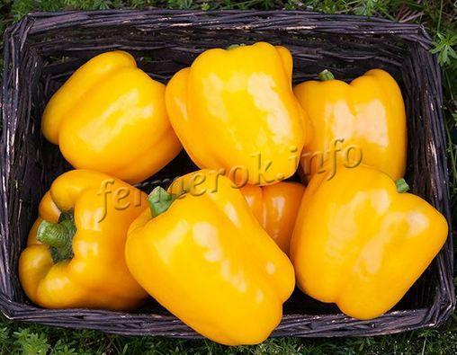 Урожай желтого болгарского перца