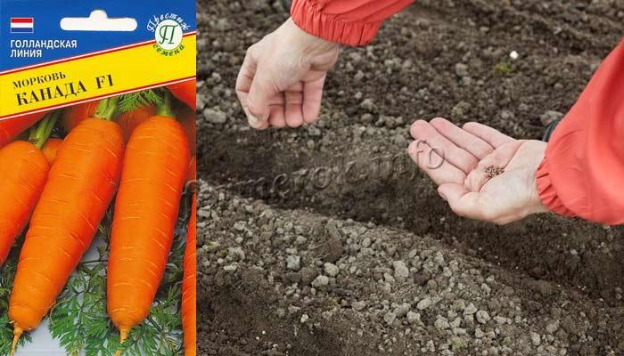 Фото посева сорта моркови Канада F1