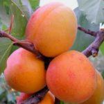 Фото абрикоса Выносливый